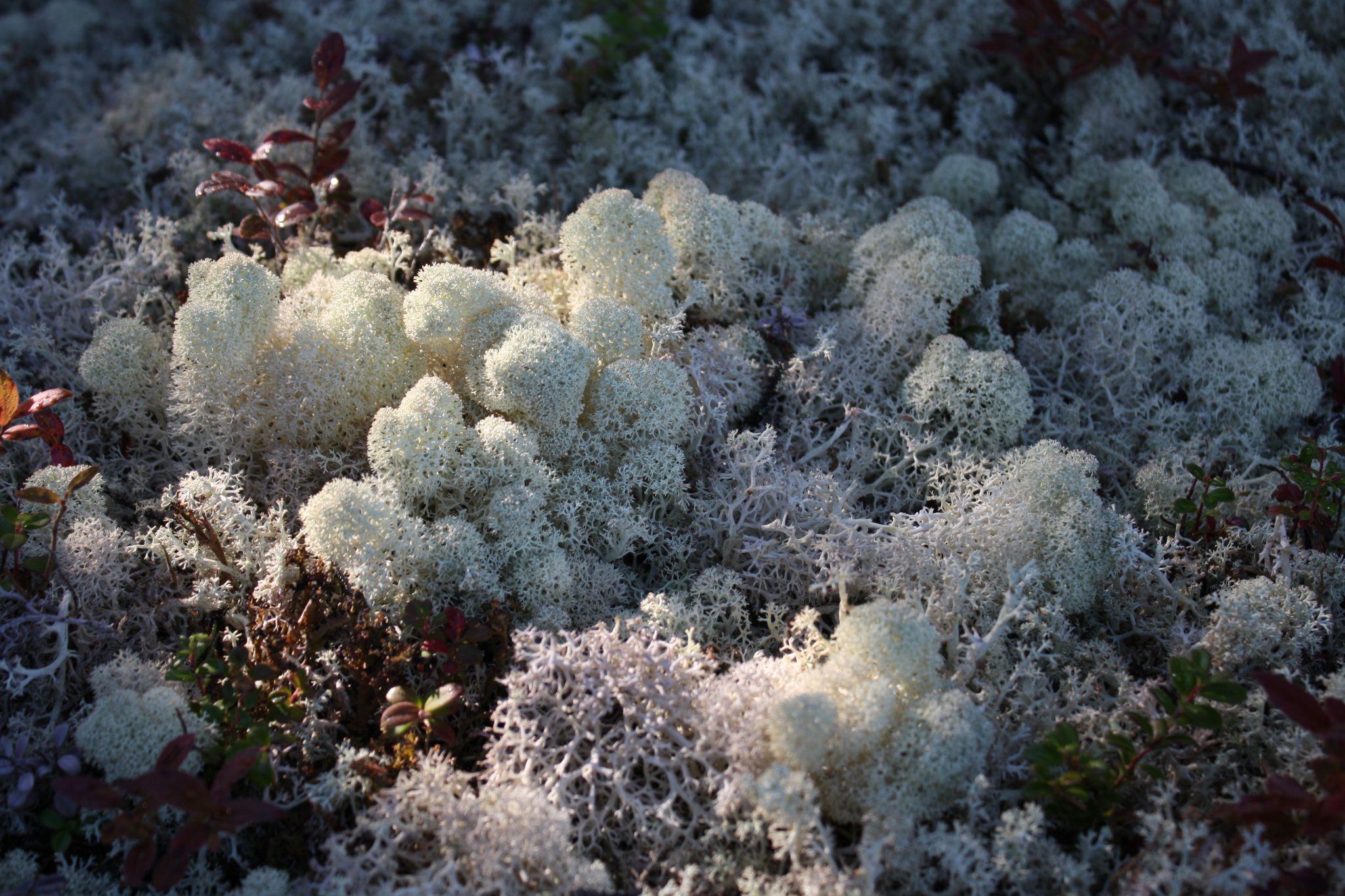 Terrestrial forage lichens close up (2)