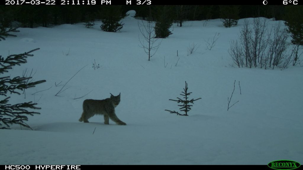 Lynx Captured on Outdoor Camera