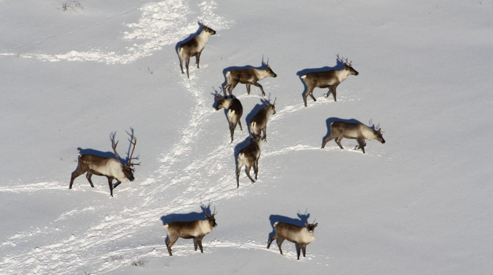 Aerial view of a group of caribou in the study area