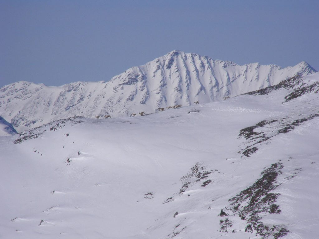 A group of caribou on a mountain ridge outside of the pen
