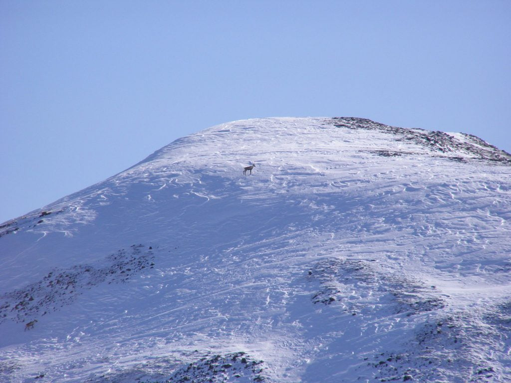 A caribou near a mountain peak