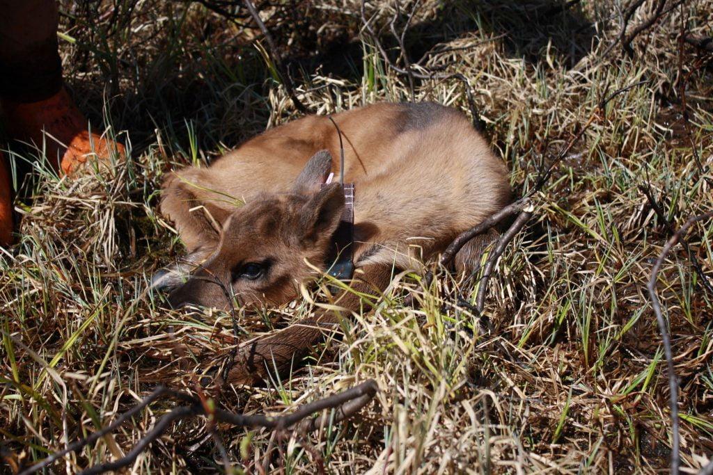 A collared caribou calf in the pen