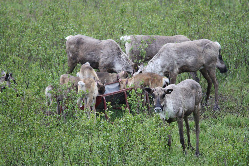Caribou at Feeding Trough 1