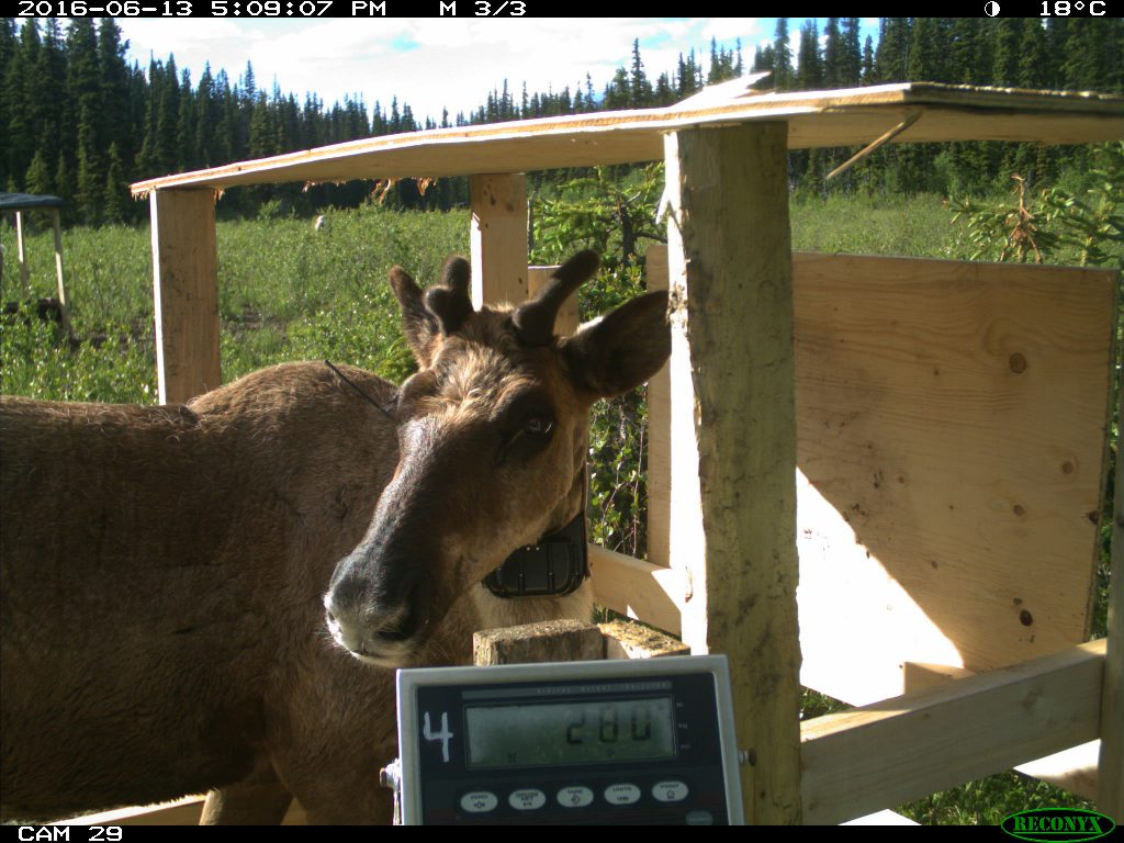 A penned caribou on the weigh scale