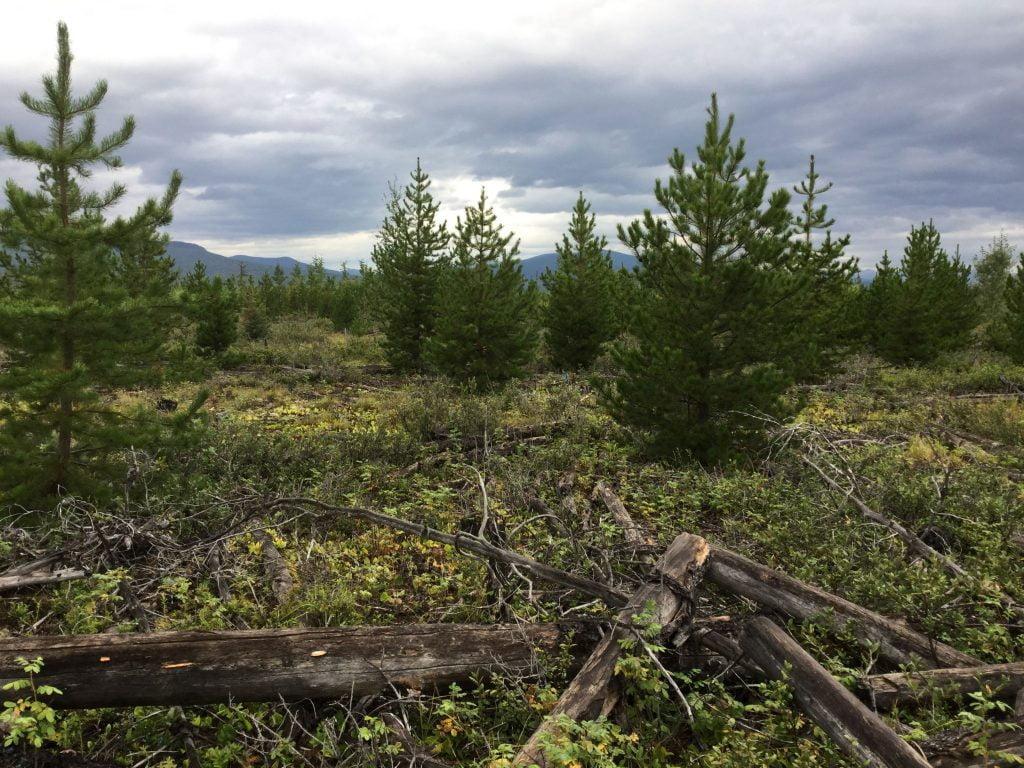 Terrestrial forage lichen habitat in a regenerating lodgepole pine stand