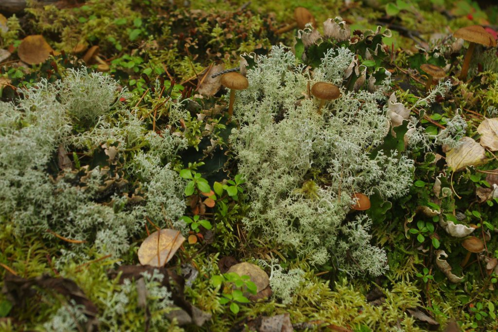 Terrestrial lichens close up (3)