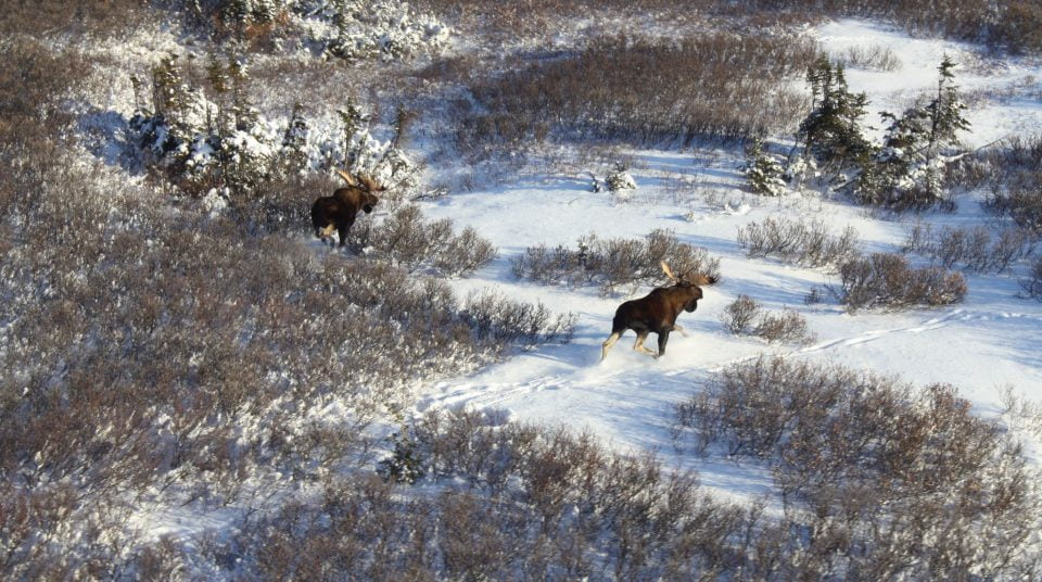 Two bull moose in the project study area using a wetland in winter