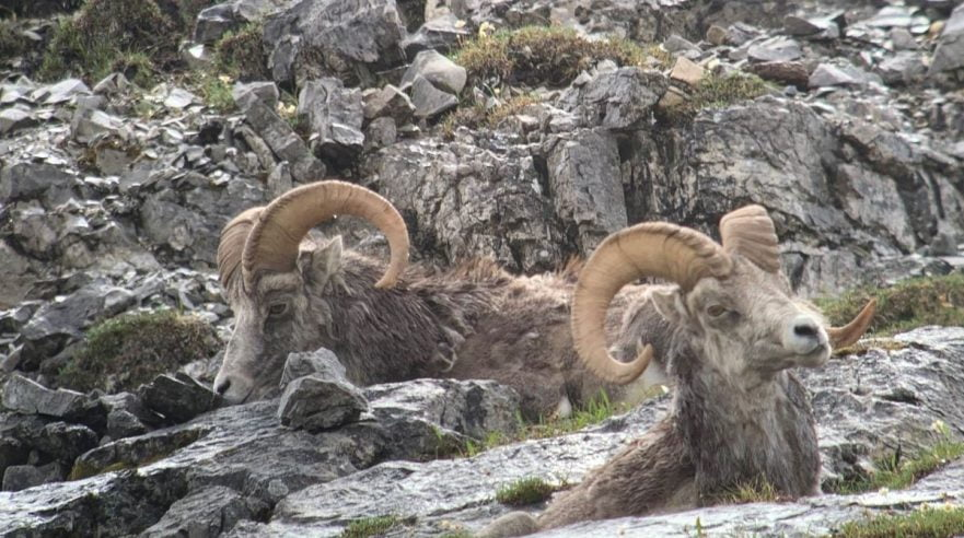 Stone's sheep at rest